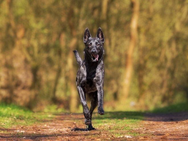 Собака прыгает на бегу