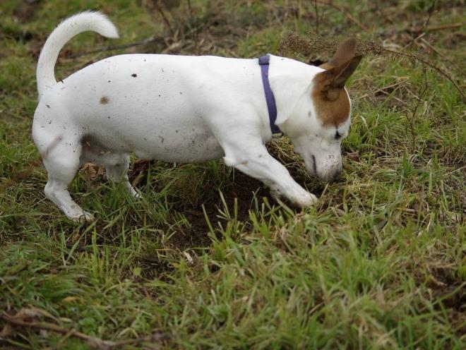 Собака копается в земле