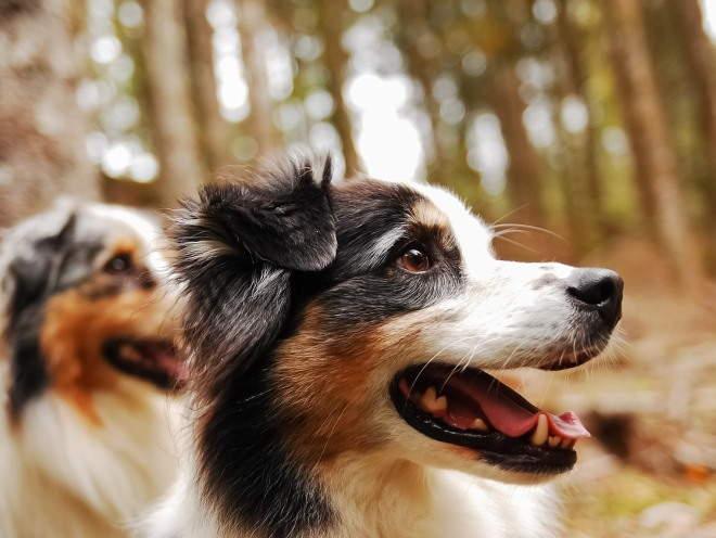 Собаки бегают по лесу