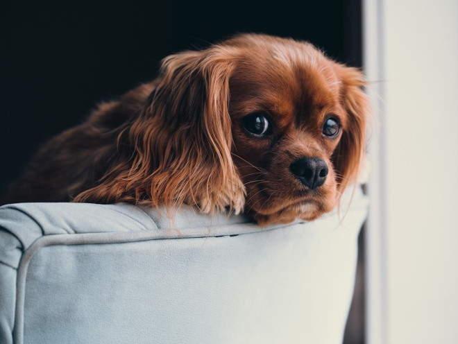 Собака выглядывает из-за кресла