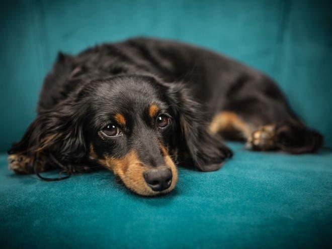 Собака лежит грустная