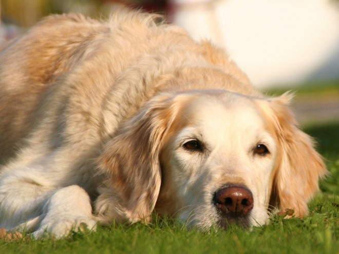 Собака лежит после прогулки
