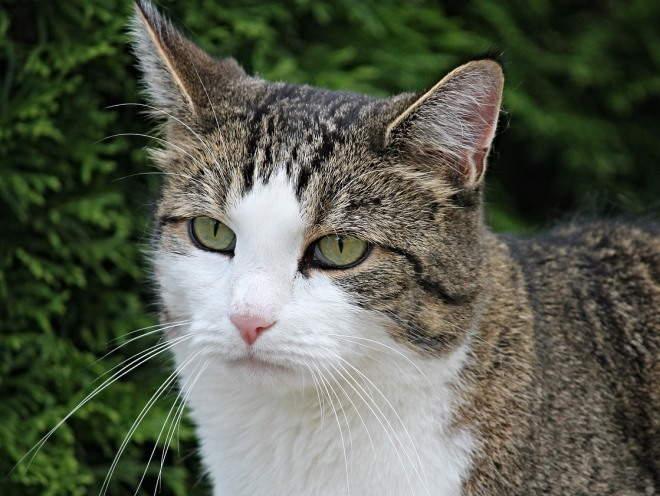 Изображение - Дисплазия тазобедренных суставов у кошек шотландская displaziya-loktevogo-sustava-u-koshek