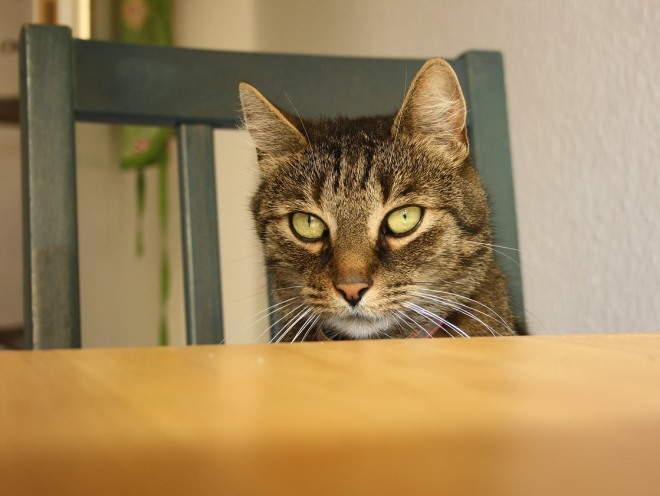 Изображение - Дисплазия тазобедренного сустава у котенка displaziya-sustavov-u-koshek