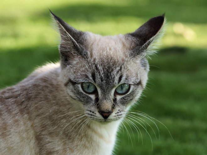Изображение - Дисплазия тазобедренных суставов у кошек шотландская displaziya-u-koshek-lechenie