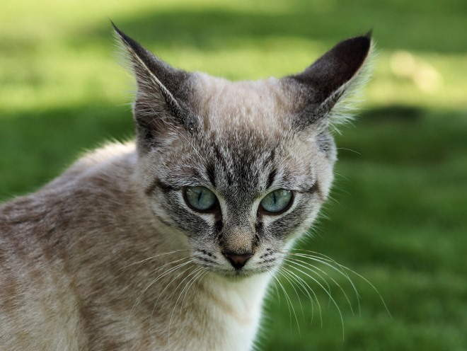 Изображение - Дисплазия тазобедренного сустава у котенка displaziya-u-koshek-lechenie
