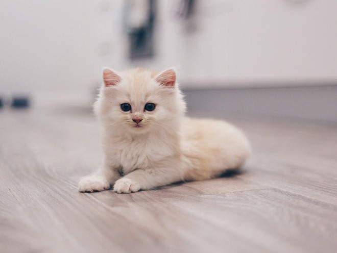 Изображение - Дисплазия тазобедренного сустава у котенка displaziya-u-koshek-simptomy
