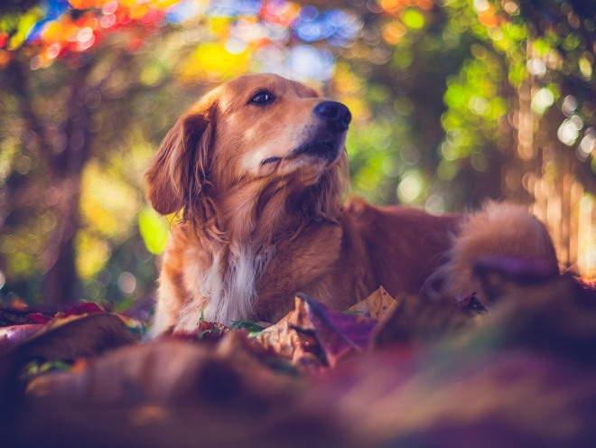 Собака легла среди листьев в парке