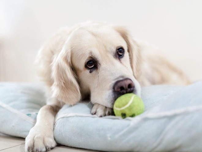Собака лежит грустная на матрасе