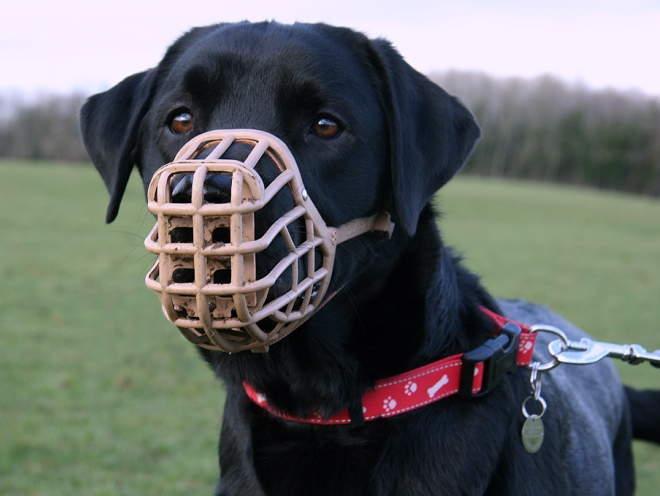 Собака гуляет в наморднике