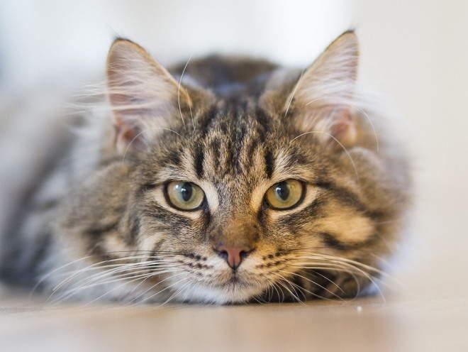 Кошка смотрит внимательным взглядом