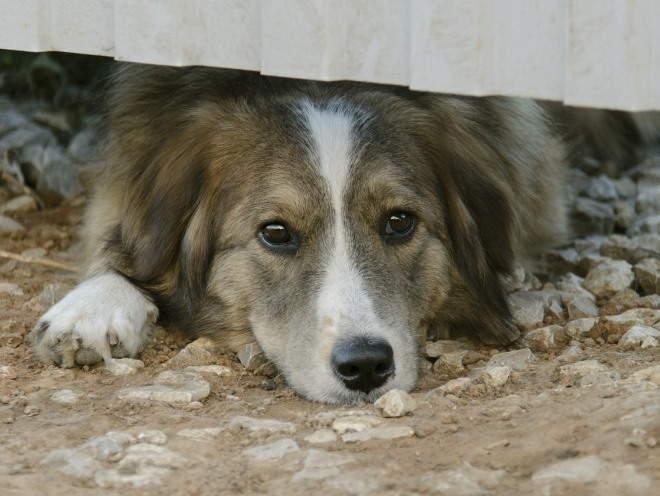 Собака смотрит из под забора