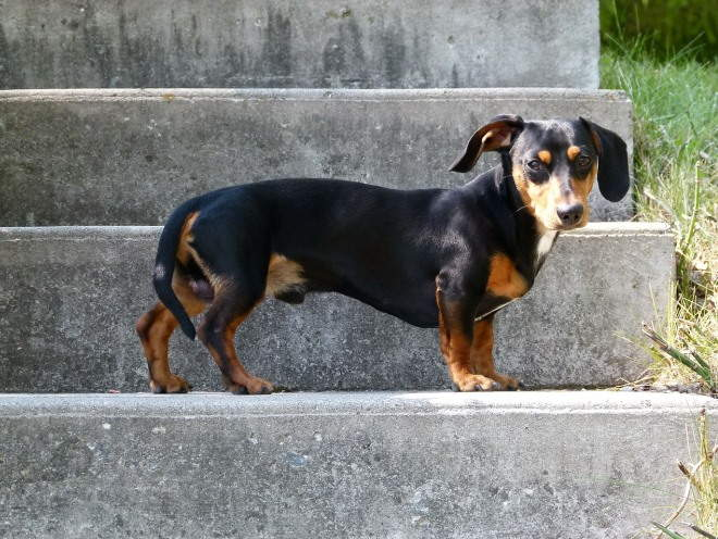 Такса остановилась на лестнице