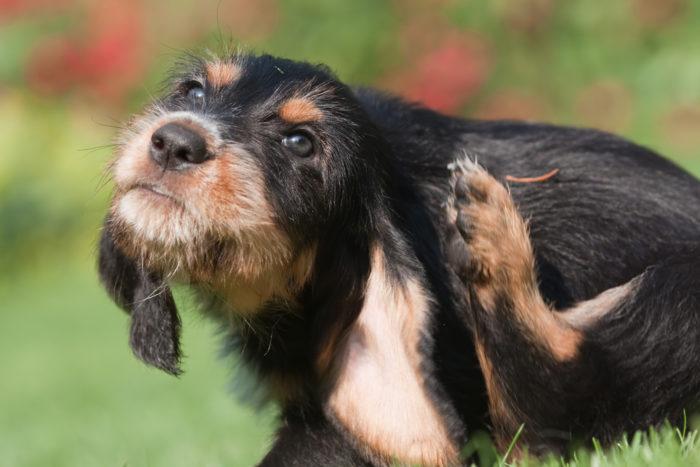 Власоеды у собак - фото, симптомы и лечение власоедов у домашней ...   467x700