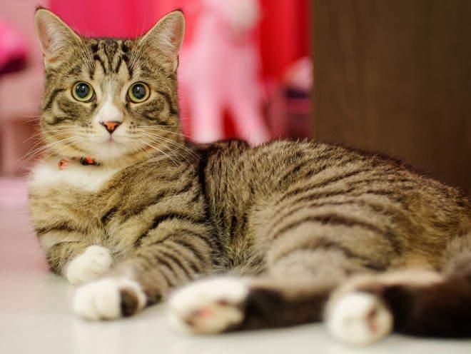 Артрит у кошек: причины, симптомы, лечение