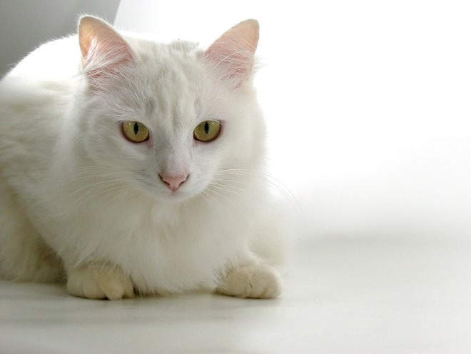 Белая кошка лежит отдыхает