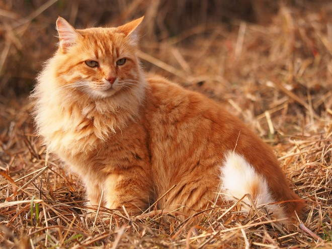 Кот сидит на сухой траве