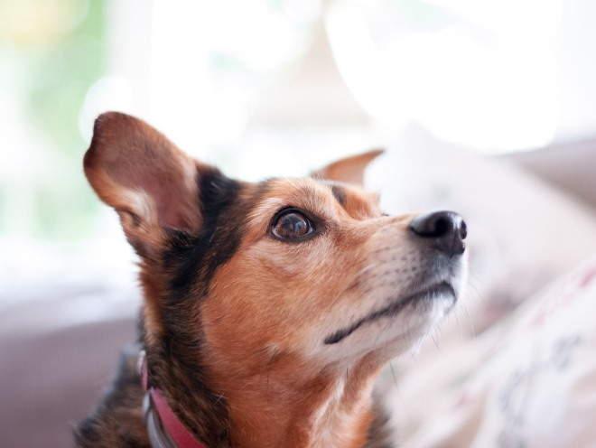 Собака внимательно смотрит
