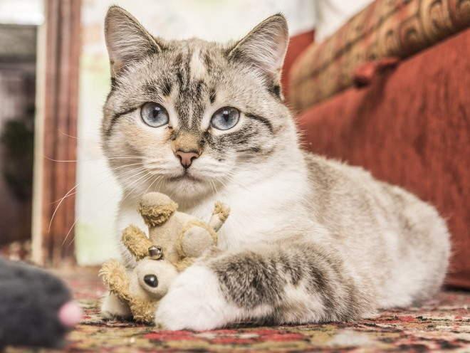 Кот играет в квартире