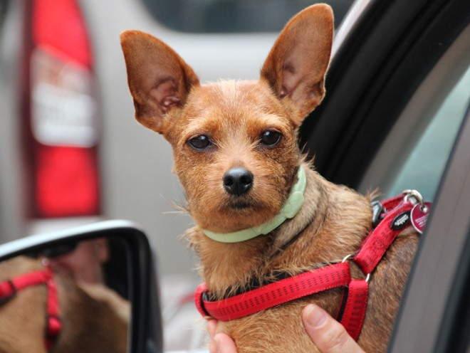 Собака на руках у хозяина в машине