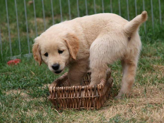 Собака пытается забраться в корзинку