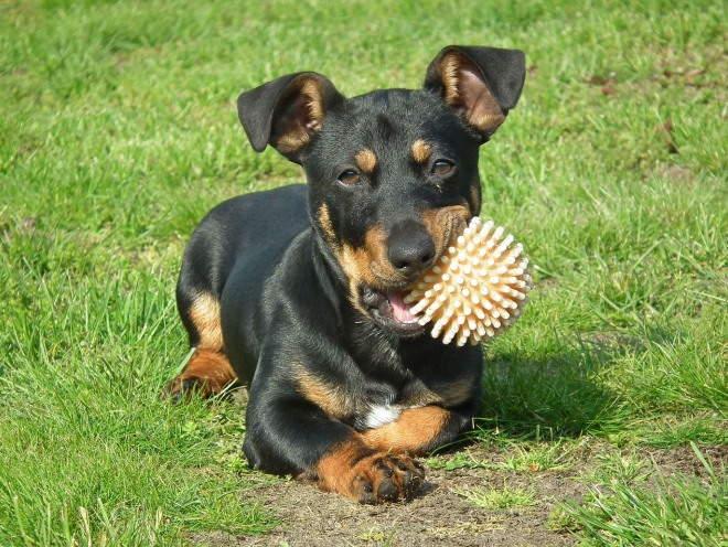 Собака грызет резиновый мячик