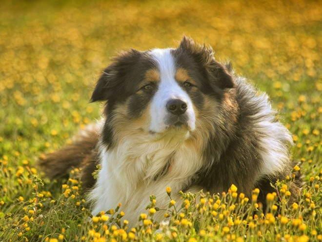 Собака лежит на траве в поле