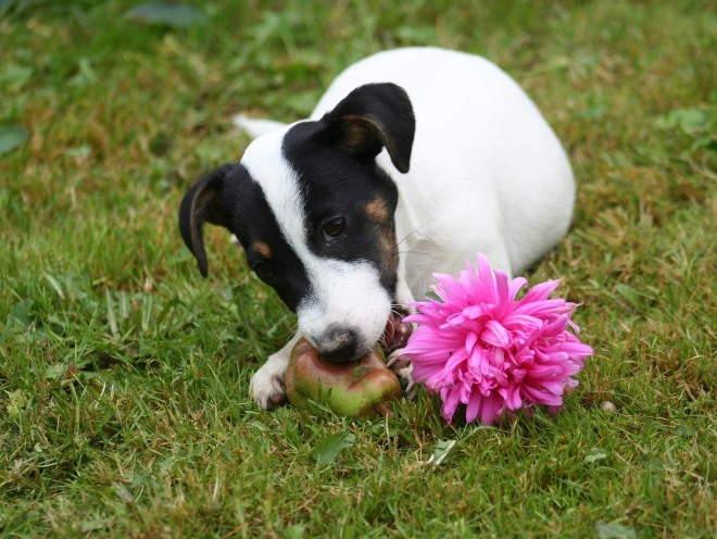 Собака ест грушу