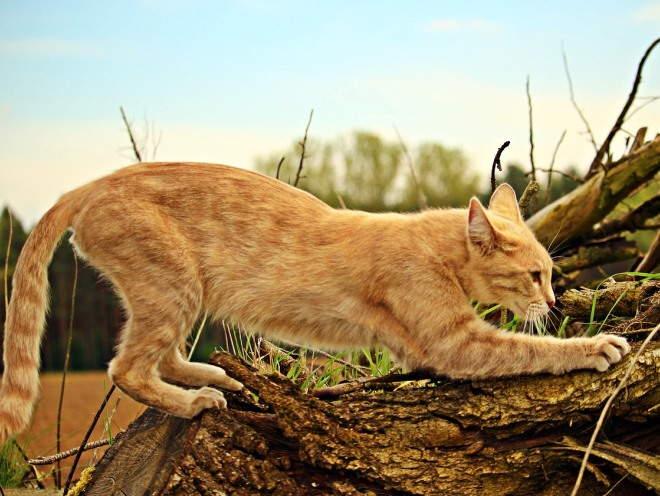 Кошка точит ногти об дерево
