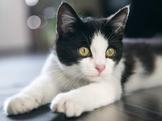 Кошка лежит вытянув лапы