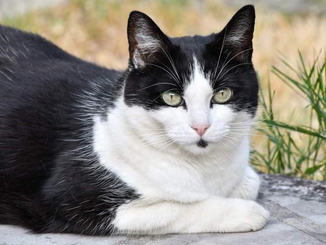Кошка лежит сложив лапки