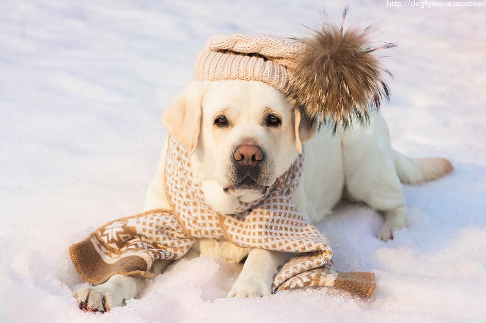 Содержание лабрадора на улице зимой в будке или вольере