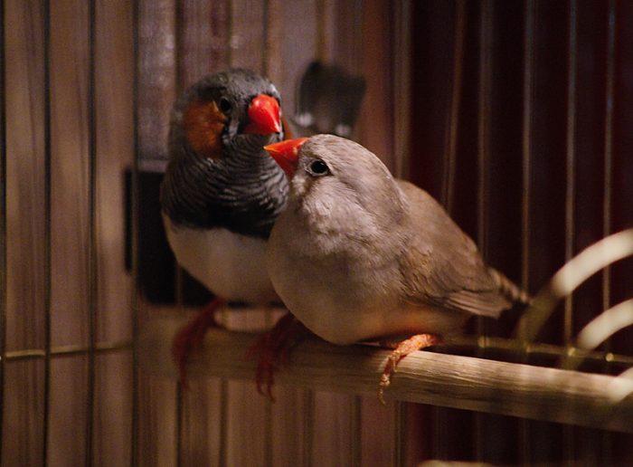 птички домашние